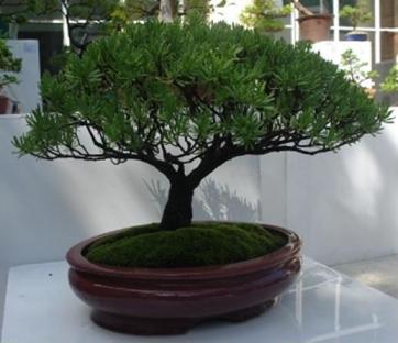 20120829150352-bonsai.jpg