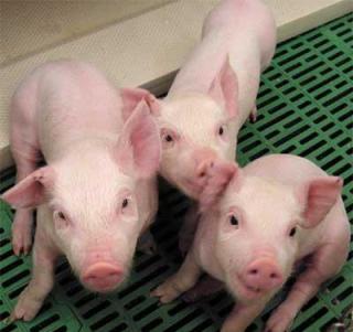 20130501060810-1143455503-cerdo.jpg