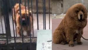 20130819094147-perro-leon-china.jpg