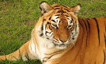 20140118123759-matan-a-tigre-de-bengala-que-asusto.jpg
