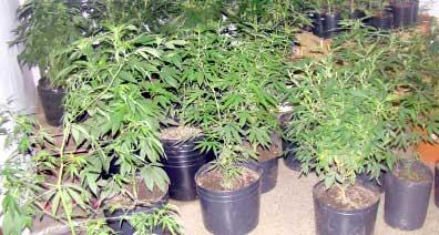 20140216161903-marihuana-apetito.jpg