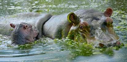 20150116223738-nuevo-hipopotamo-yvg.jpg
