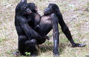 20150315193924-bonobo-624x351-thinkstock.jpg