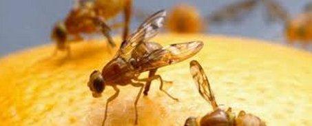 20151019002512-mosca-oriental-de-la-fruta-bactrocera-dorsalis-mosca-florida.jpg