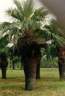 20110306021737-palma-endemica-de-cuba.jpg