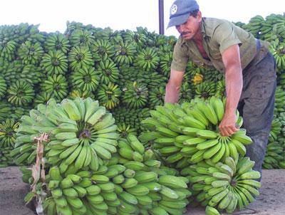 20121025235812-campesino-platanos.jpg