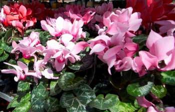 20130823001044-plantas-enganosas-intoxican.jpg