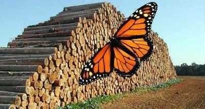 20150826151037-tala-mariposa-monarca.jpg