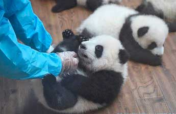 20151112050640-pandas-china.jpg