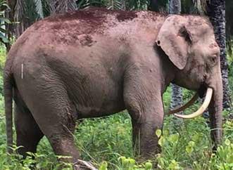 20160814003131-extrano-elefante-manasia.jpg