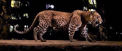 20170403124844-un-leopardo-provoca-el-cierre-del-aeropuerto-de-nepal.jpg