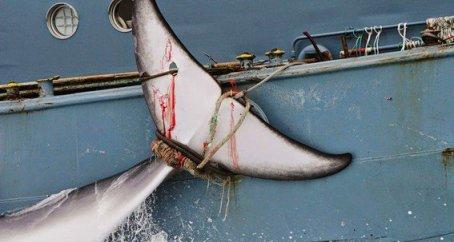 20170928030118--asesinato-de-177-ballenas-.jpg