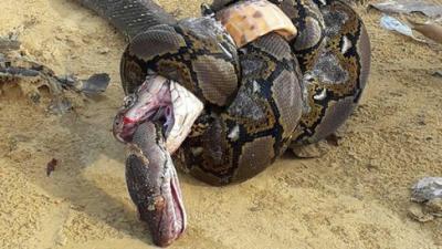 20180209173417-una-cobra-real-y-una-piton-gigante-.jpg
