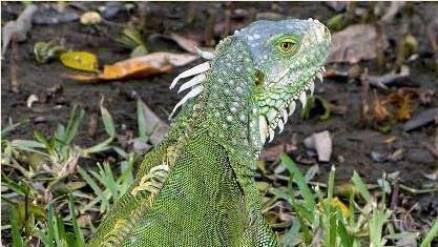 20180314130402-iguanas-en-florida-.jpg